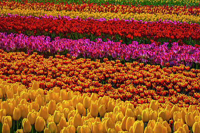 Photograph - Tulip World by Garry Gay