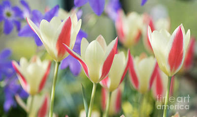 Photograph - Tulipa Tinka Flowers by Tim Gainey