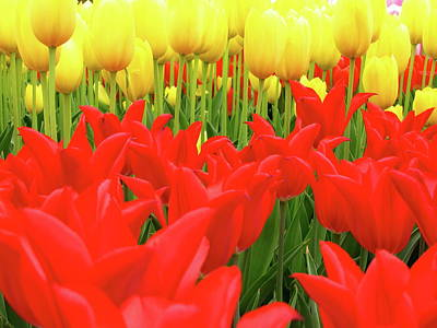 Photograph - Tulips 2 by Jeffrey PERKINS
