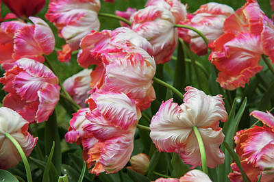 Photograph - Tulips Apricot Parrot by Jenny Rainbow