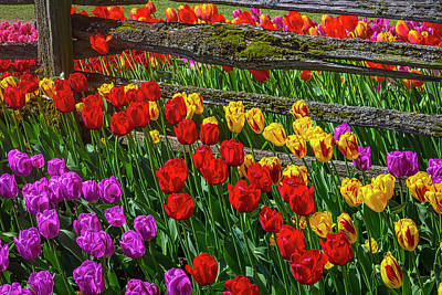 Photograph - Tulips Growing By Old Fence by Garry Gay