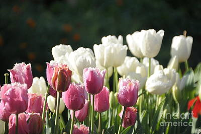 Hollywood Style - Tulips by Julia Telligman