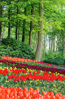 Photograph - Tulips Rows In Keukenhof by Jenny Rainbow
