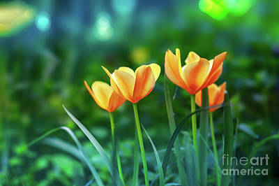 Photograph - Tulips by Susan Warren