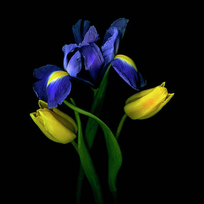 Photograph - Tulips Tulipa With Irises Iris On Black by Magda Indigo