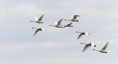 Photograph - Tundra Swans 2019-1 by Thomas Young