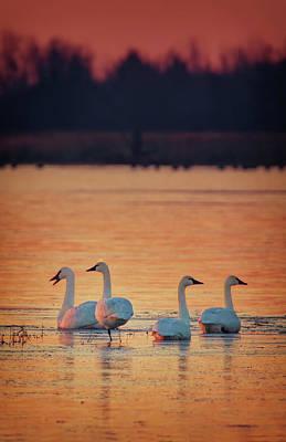Wall Art - Photograph - Tundra Swans At Sunrise by Martin Belan