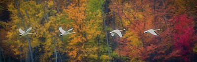 Wall Art - Photograph - Tundra Swans In Flight, Autumn Colors by Martin Belan
