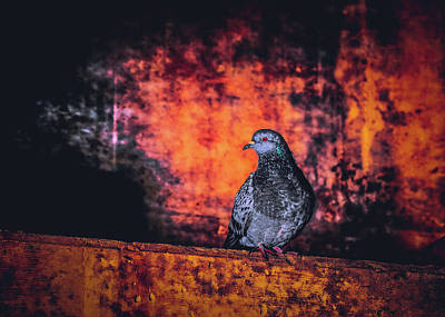 Photograph - Tunnel Pigeon by Bob Orsillo