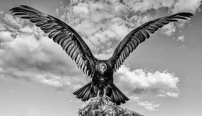 Photograph - Turkey Vulture Bw by Rick Mosher