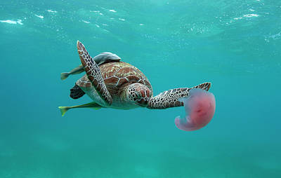 Photograph - Turtle Eating Jellyfish by Alastair Pollock Photography