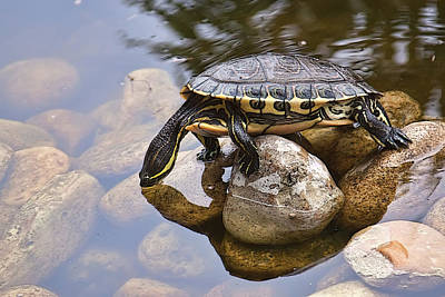 Photograph - Turtle Drinking Water by Tatiana Travelways