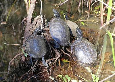 Photograph - Turtles Sunning In The Swamp by Carol Groenen
