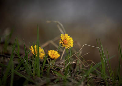 Photograph - Tussilago Farfara,  Coltsfoot #i7 by Leif Sohlman