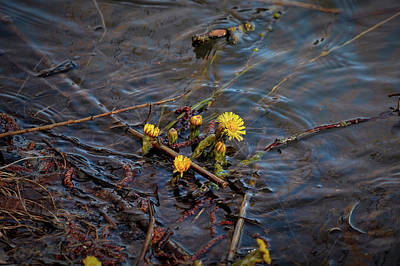 Photograph - Tussilago Swim #i6 by Leif Sohlman