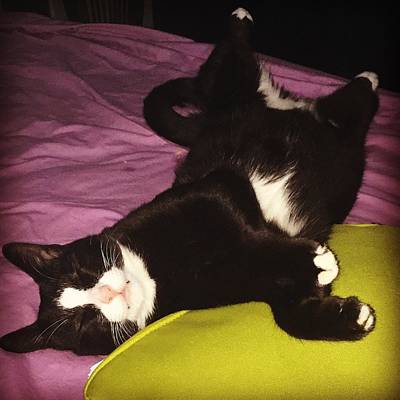 Photograph - Tuxedo Belly by The Happy Cat