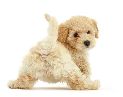 Photograph - Twerking Pooshon Pup by Warren Photographic