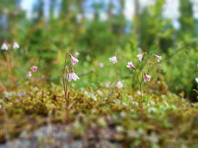 Jouko Lehto Royalty-Free and Rights-Managed Images - Twinflower forest by Jouko Lehto
