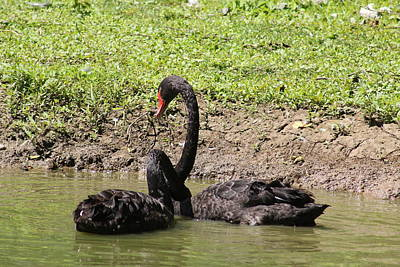 Personalized Name License Plates - Two Black Swans, Cygnus atratus swimming in a pond by Paul Comtois