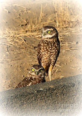 Photograph - Two Burrowing Owls by Carol Groenen