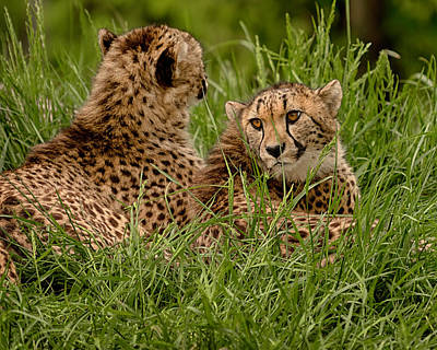 Photograph - Two Cheetahs by David Mohn
