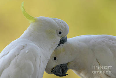 Photograph - Two Cockatoos by Werner Padarin