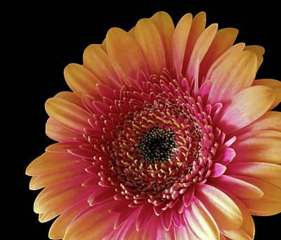 Photograph - Two Colored Gerbera Beauty by Johanna Hurmerinta