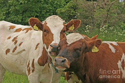 Photograph - Two Cows by PJ Boylan