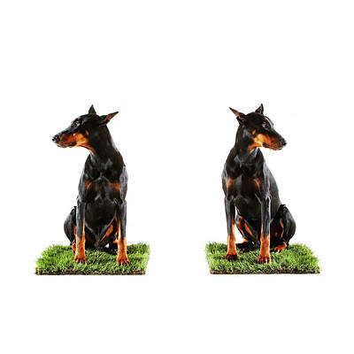 Doberman Wall Art - Photograph - Two Dobermans Sitting On Patches Of by Thomas Northcut