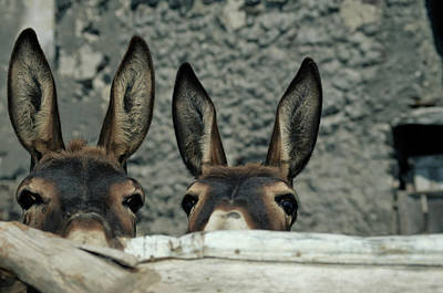 Photograph - Two Donkeys Peering Over Fence, Close-up by Jochem D Wijnands