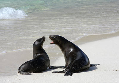 Galapagos Photograph - Two Galapagos Sea Lions by Photography By Jessie Reeder
