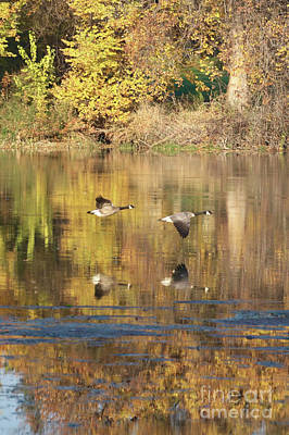 Photograph - Two Geese Flying With Autumn Trees Reflection by Carol Groenen