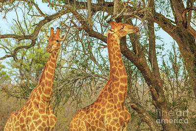 Photograph - Two Giraffe Eating by Benny Marty