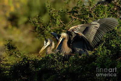 Photograph - Two Great Blues by Beve Brown-Clark Photography