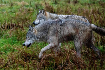 Photograph - Two Grey Wolves by Dan Friend
