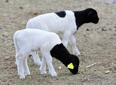Photograph - Two Little Lambs by Kae Cheatham