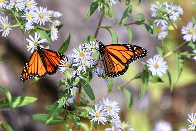 Photograph - Two Monarch Butterflies by Carol Montoya