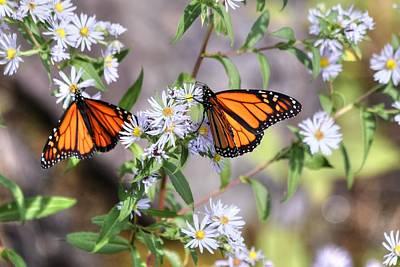 Photograph - Two Monarch Butterflies by Carol Montoya