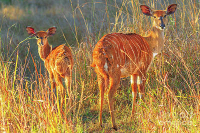 Photograph - two Nyala females by Benny Marty