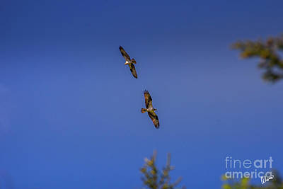 Roaring Red - Two OSPREY by Alana Ranney