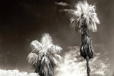 Photograph - Two Palm Trees In Jaffa by John Rizzuto
