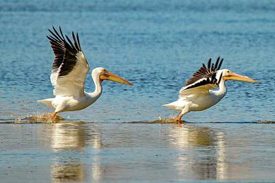 Photograph - Two Pelicans Taking Off by Susan Rydberg