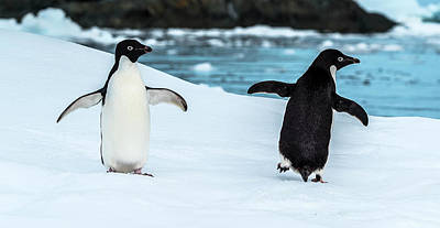 Austral Wall Art - Photograph - Two Penguins In Snow, Antarctic by Panoramic Images
