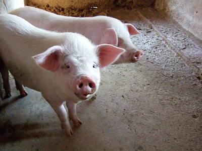 Photograph - Two Pigs by Shinichi.imanaka