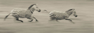 Photograph - Two Plains Zebras Racing Across The by Mint Images - Art Wolfe