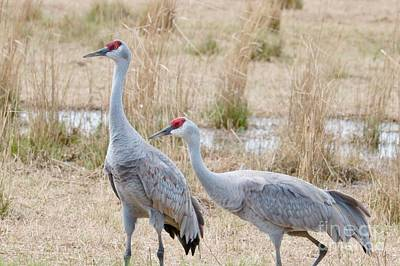 Photograph - Two Sandhills In Field by Carol Groenen