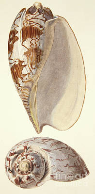 Painting - Two Sea Shells Voluta Miltonis, From The Mollusca And Radiata, 1833 by English School