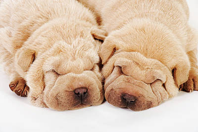Eyes Closed Photograph - Two Shar Pei Puppies Sleeping, White by Martin Harvey