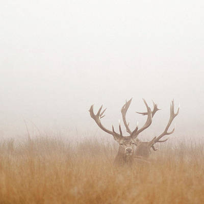 Photograph - Two Stag Deer Resting In Field On Foggy by Beholdingeye