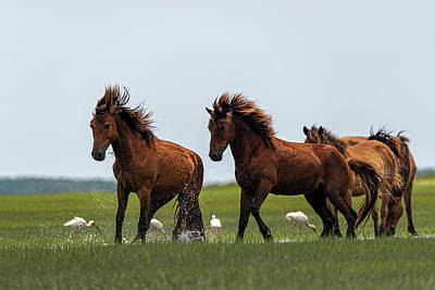 Photograph - Two Stallions Competing by Dan Friend